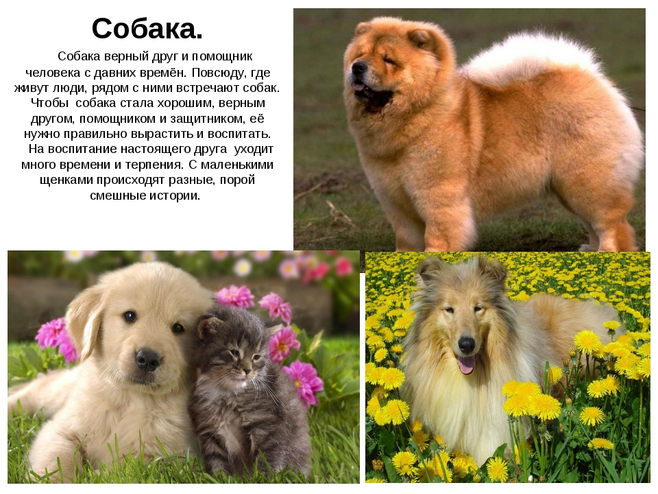 Собака.  Собака верный друг и помощник человека с давних времён. Повсюду, г...