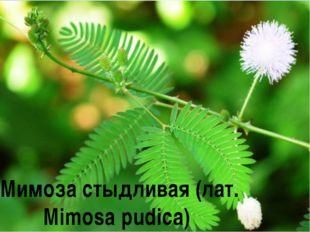 Мимоза стыдливая (лат. Mimosa pudica)
