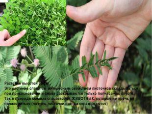 Растение высотой 60 см . Это растение славится интересным свойством листочков