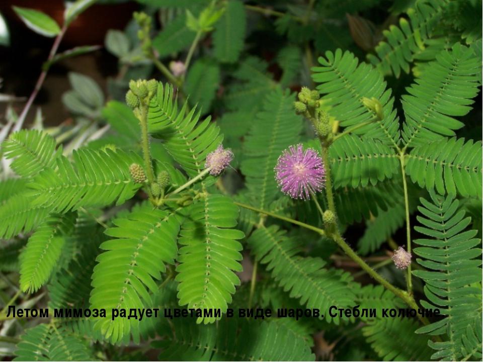 Летом мимоза радует цветами в виде шаров. Стебли колючие.
