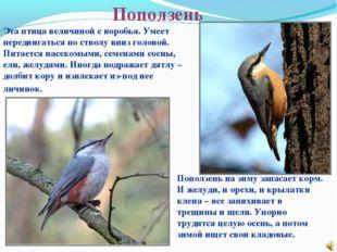 Поползень Эта птица величиной с воробья. Умеет передвигаться по стволу вниз г