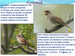 Соловей Соловей – птица-невидимка. Он неярок и очень осторожен. Соловьи, как