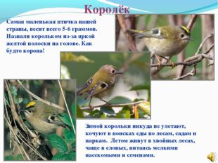 Королёк Самая маленькая птичка нашей страны, весит всего 5-6 граммов. Назвали