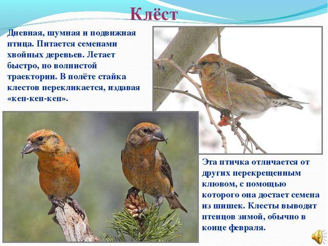 Клёст Эта птичка отличается от других перекрещенным клювом, с помощью которог...