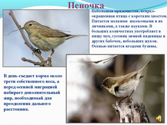 Пеночка Небольшая приземистая, неярко-окрашенная птица с коротким хвостом. Пи...