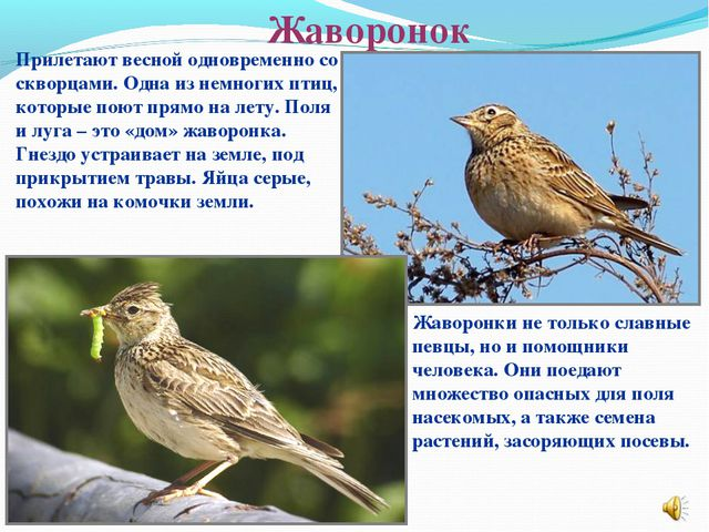 Жаворонок Прилетают весной одновременно со скворцами. Одна из немногих птиц,...