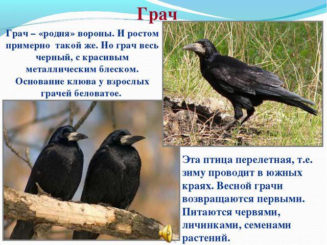 Грач Грач – «родня» вороны. И ростом примерно такой же. Но грач весь черный,...