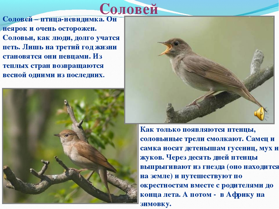 Соловей Соловей – птица-невидимка. Он неярок и очень осторожен. Соловьи, как...