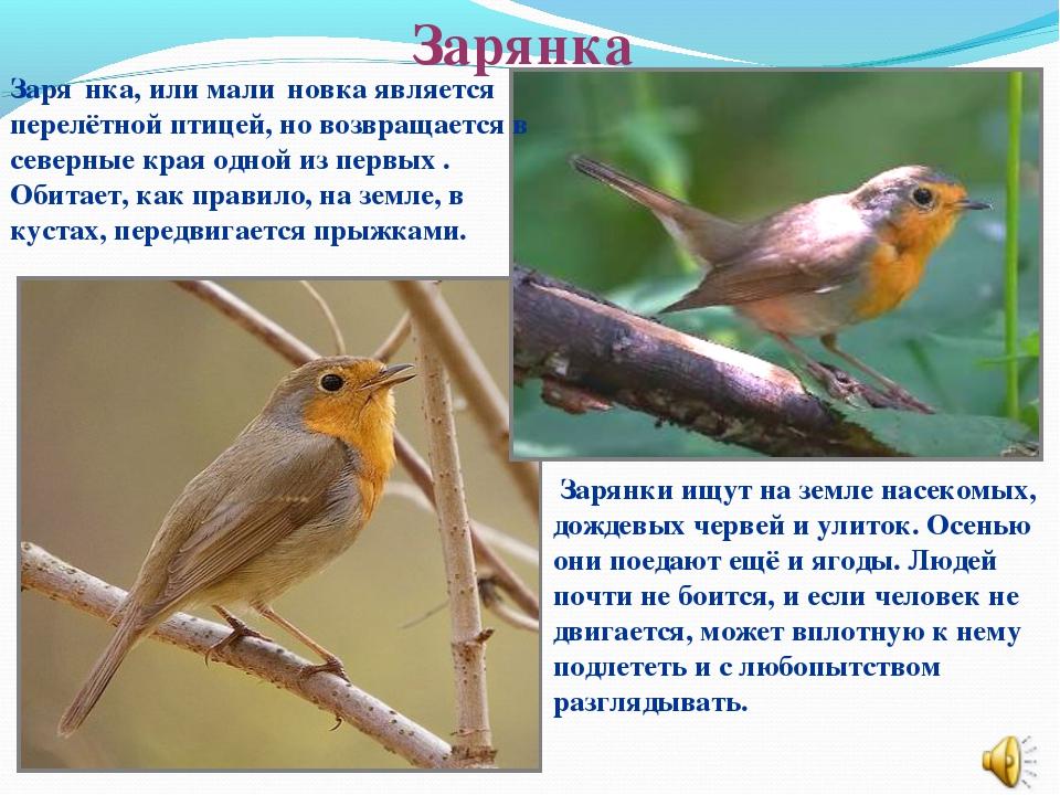 Зарянка Заря́нка, или мали́новка является перелётной птицей, но возвращается...