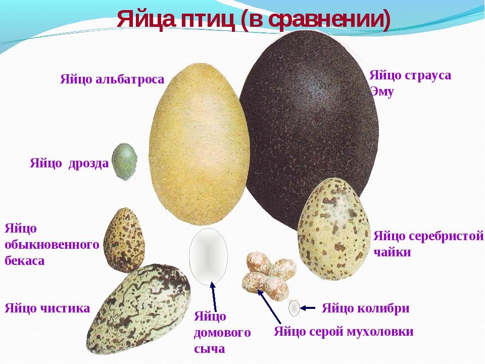 Яйцо страуса Эму Яйцо альбатроса Яйцо серебристой чайки Яйцо колибри Яйцо сер...