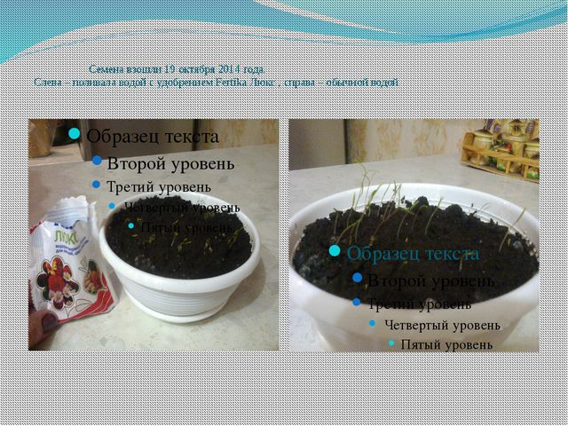 Семена взошли 19 октября 2014 года. Слева – поливала водой с удобрением Fert...