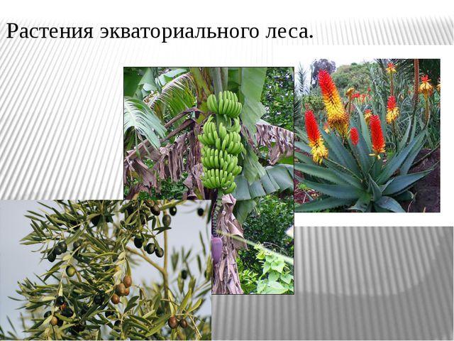 Растения экваториального леса.