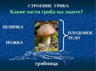 ШЛЯПКА НОЖКА грибница ПЛОДОВОЕ ТЕЛО СТРОЕНИЕ ГРИБА Какие части гриба вы знаете?
