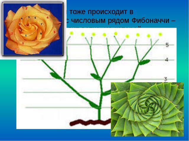 Рост растений тоже происходит в соответствии с числовым рядом Фибоначчи – от...