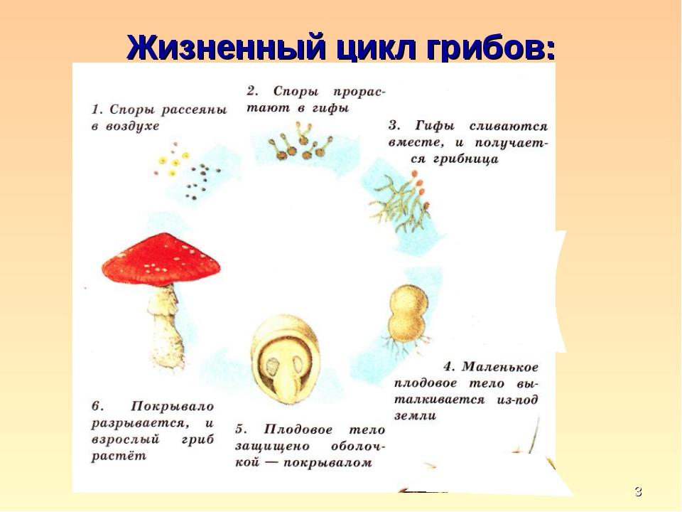 * Жизненный цикл грибов: кафедра педагогики и технологий образовательного про...