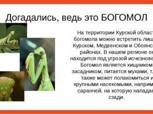 Догадались, ведь это БОГОМОЛ На территории Курской области богомола можно вст