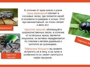 В отличие от жука-оленя и усача хрущ мраморный обитает в сосновых лесах, где