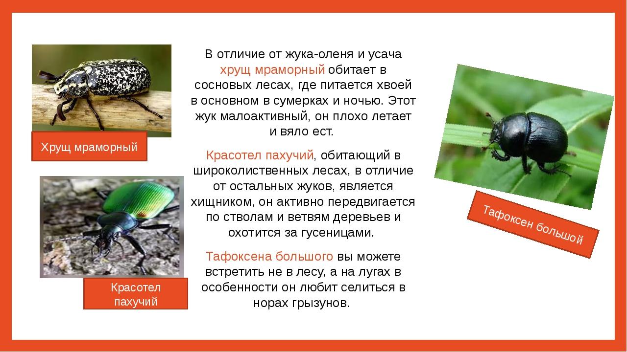 В отличие от жука-оленя и усача хрущ мраморный обитает в сосновых лесах, где...