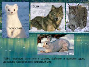 Тайга подходит вплотную к самому Байкалу и поэтому здесь довольно разнообразе