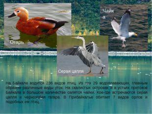 На Байкале водится 236 видов птиц. Из них 29 водоплавающих, главным образом р