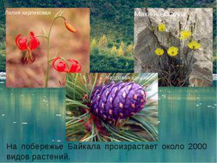 На побережье Байкала произрастает около 2000 видов растений. Лилия карликовая