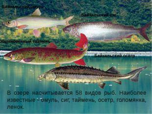 В озере насчитывается 58 видов рыб. Наиболее известные- омуль, сиг, таймень,