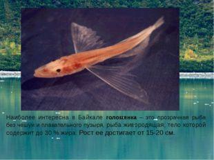 Наиболее интересна в Байкале голомянка – это прозрачная рыба без чешуи и плав