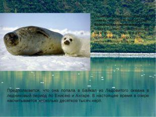 В Байкале встречается уникальное, типично морское млекопитающее - байкальская
