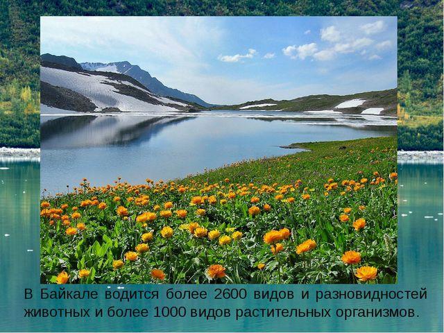 В Байкале водится более 2600 видов и разновидностей животных и более 1000 вид...