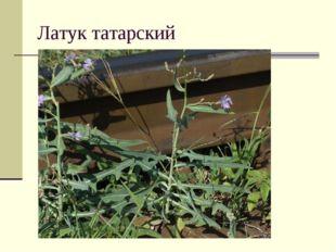 Латук татарский