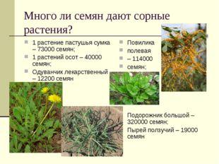 Много ли семян дают сорные растения? 1 растение пастушья сумка – 73000 семян;