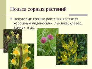 Польза сорных растений Некоторые сорные растения являются хорошими медоносами