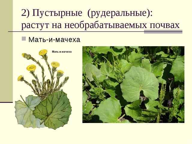 2) Пустырные (рудеральные): растут на необрабатываемых почвах Мать-и-мачеха