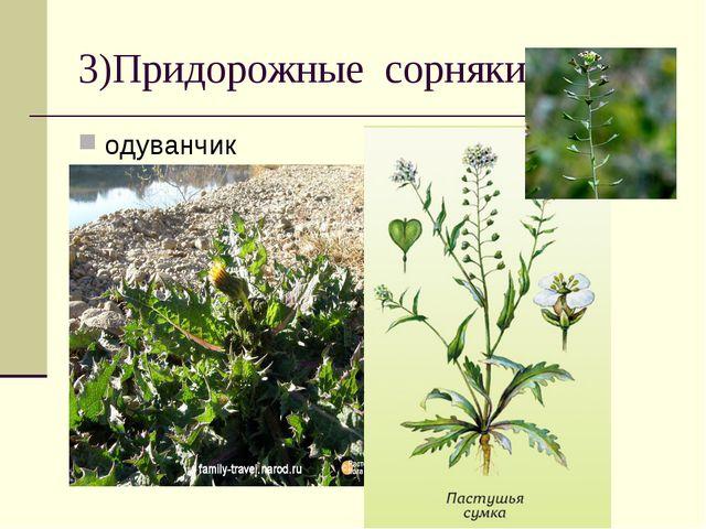 3)Придорожные сорняки одуванчик