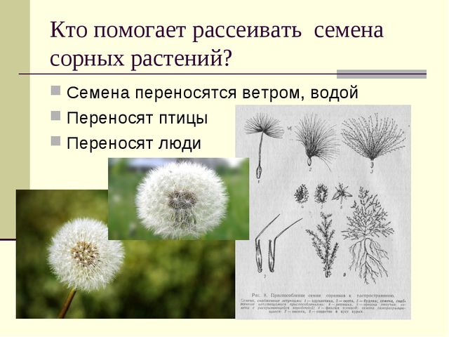 Кто помогает рассеивать семена сорных растений? Семена переносятся ветром, во...