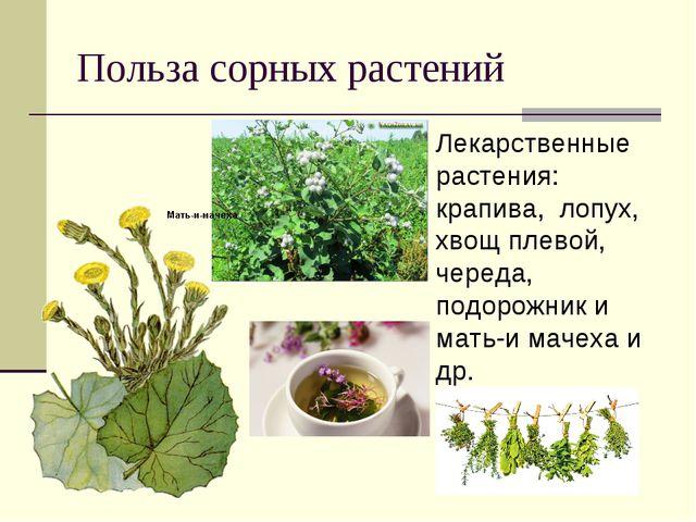 Польза сорных растений Лекарственные растения: крапива, лопух, хвощ плевой, ч...