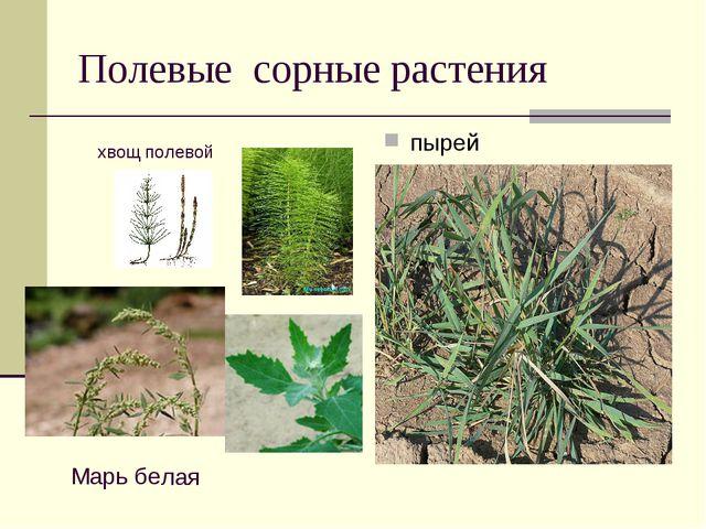 Полевые сорные растения пырей хвощ полевой Марь белая