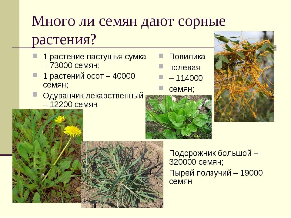 Много ли семян дают сорные растения? 1 растение пастушья сумка – 73000 семян;...