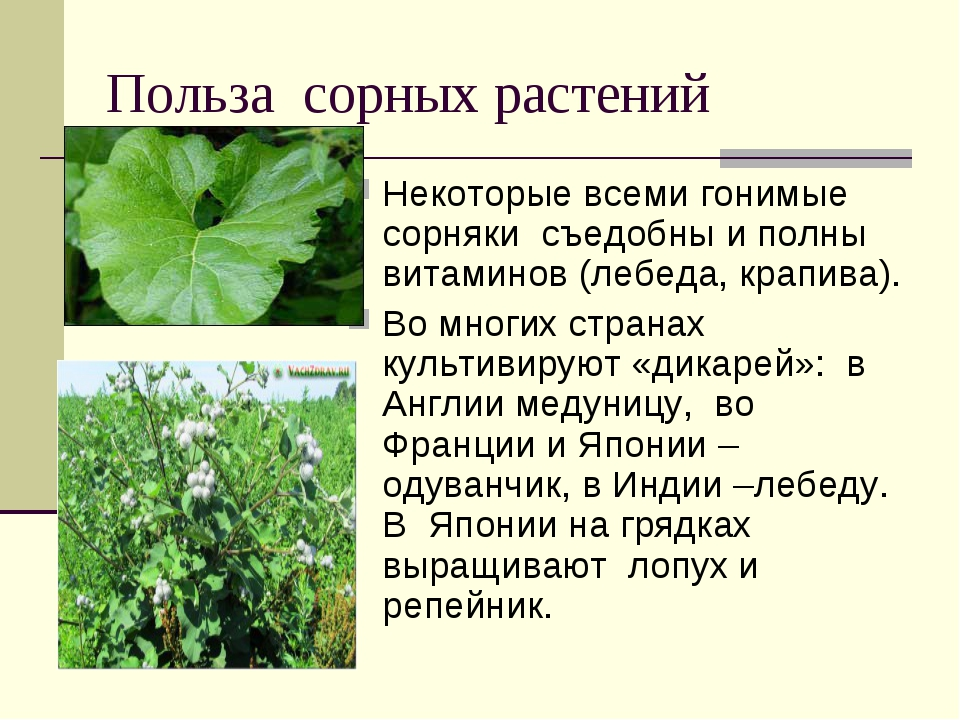 Польза сорных растений Некоторые всеми гонимые сорняки съедобны и полны витам...