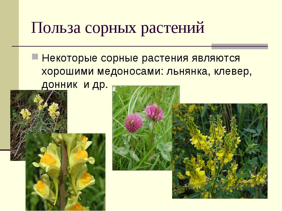 Польза сорных растений Некоторые сорные растения являются хорошими медоносами...