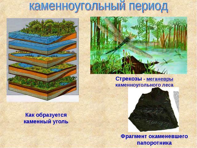 Стрекозы - меганевры каменноугольного леса Фрагмент окаменевшего папоротник...