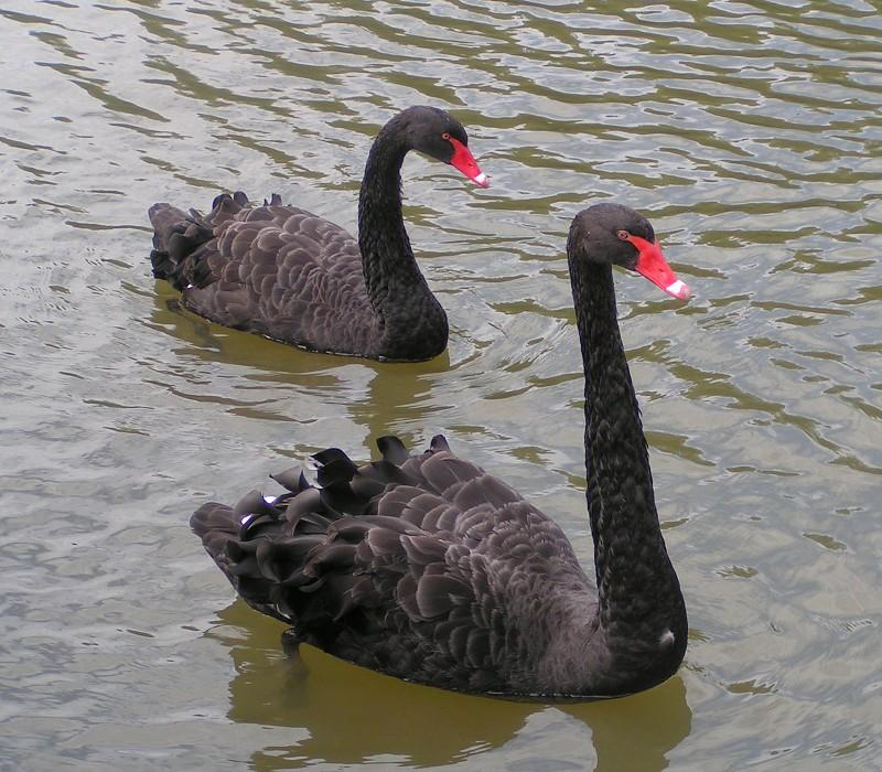 Black_Swans