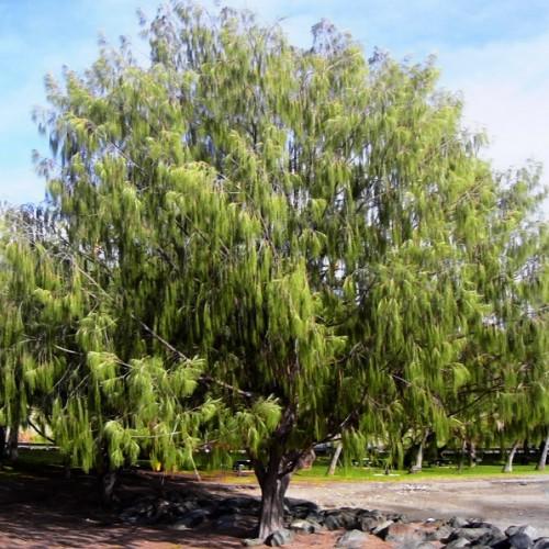 C:\Users\45\Desktop\casuarina-equisetifolia-plantium.ru-500x500.jpg