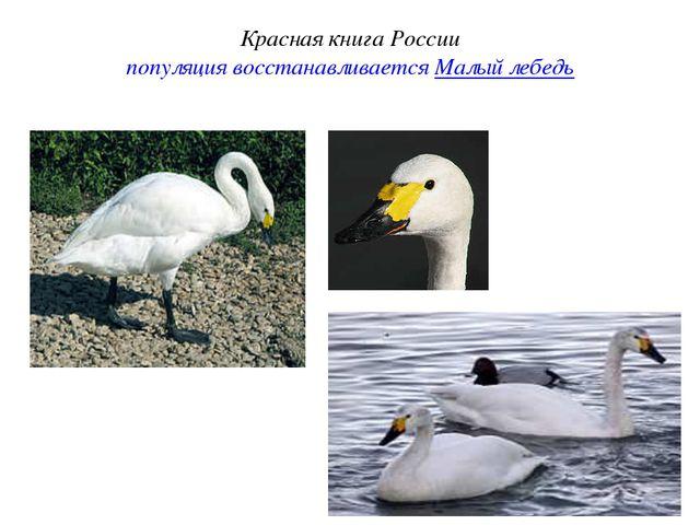 Красная книга России популяция восстанавливается Малый лебедь