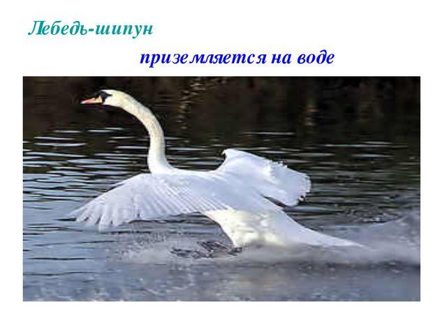 Лебедь-шипун приземляется на воде
