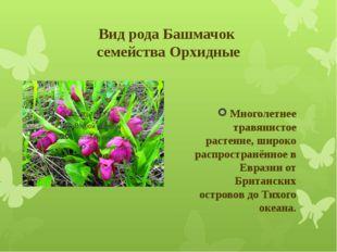 Вид рода Башмачок семейства Орхидные Многолетнее травянистое растение, широко