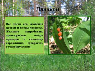 Ландыш Все части его, особенно цветки и ягоды ядовиты. Желание попробовать яр