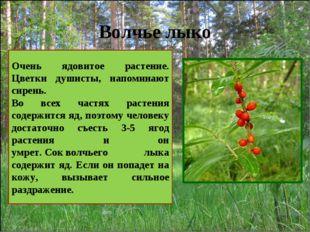 Волчье лыко Очень ядовитое растение. Цветки душисты, напоминают сирень. Во вс