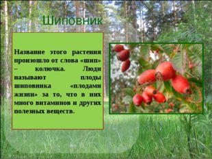 Шиповник Название этого растения произошло от слова «шип» – колючка. Люди наз