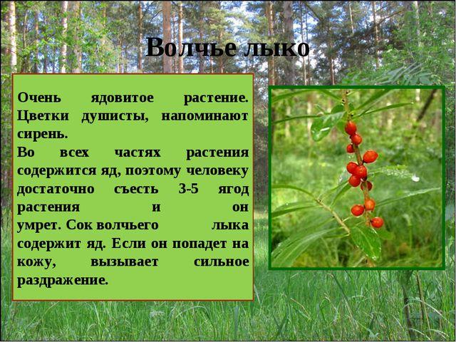 Волчье лыко Очень ядовитое растение. Цветки душисты, напоминают сирень. Во вс...